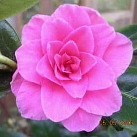 Camellia 'Water Lily' - Find Azleas,Camellias,Hydrangea and Rhododendrons at Loder Plants